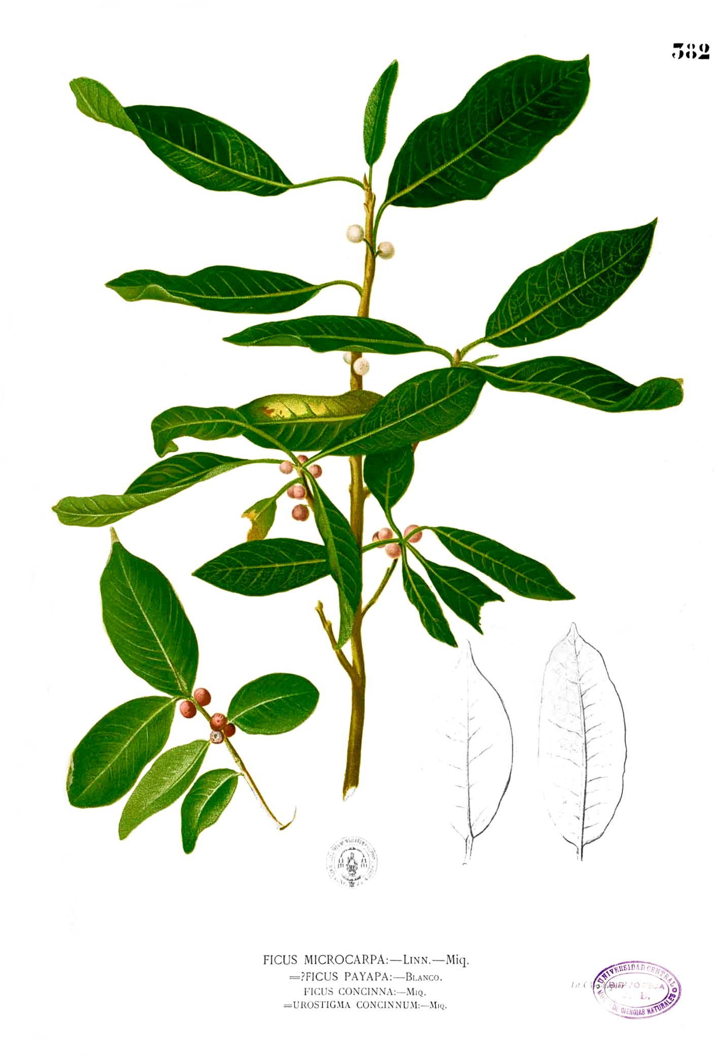 Ficus_microcarpa_Blanco2.382