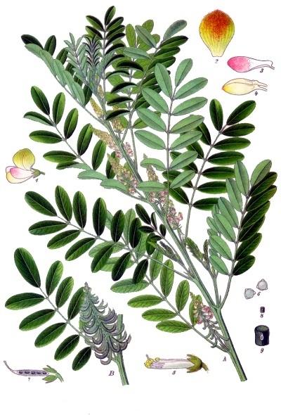 Indigofera_suffruticosa_-_Köhler–s_Medizinal-Pflanzen-076